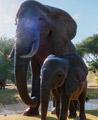 非洲草原象