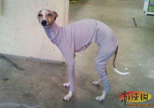宠物狗化妆前穿好的织物衣服