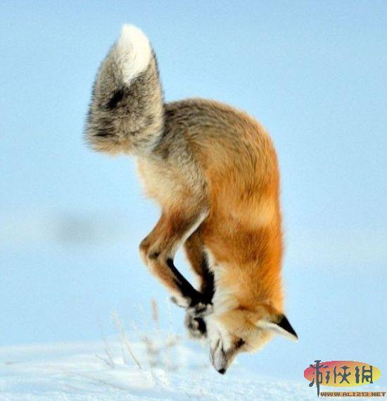 """令赤狐感到失望的是,此次""""潜雪""""捕鼠最终以失败告终   北京时间12月1日消息,据国外媒体报道,美国野生动物摄影师理查德-彼得斯拍摄了一组精彩的照片,展现一只赤狐高高跃起,而后一头扎进雪地捕鼠的有趣瞬间。当时,赤狐首先在雪地上侦察了几分钟,寻找老鼠的踪迹,而后站起来跃向空中。它的脑袋扎进雪地,只有后腿和浓密的尾巴露在外面。   在游览怀俄明州黄石国家公园的拉马尔谷时,彼得斯捕捉下这一精彩瞬间。他说:""""我看着它在雪地上寻觅,不时停下来,探测雪下老鼠的活动。大约20分钟后"""