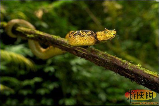 这条马蒂尔达角腹蛇将自己缠在树上