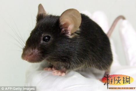 日本大阪大学的一个研究小组目前正饲养这只可爱的小老鼠.