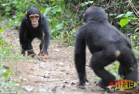 非洲科学家警告吃灵长目动物会感染新艾滋病