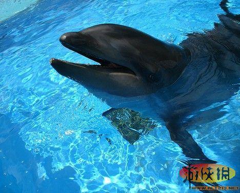 鲸豚   将鲸类和其他不同种类的海洋哺乳动物进行杂交,听起来似乎不