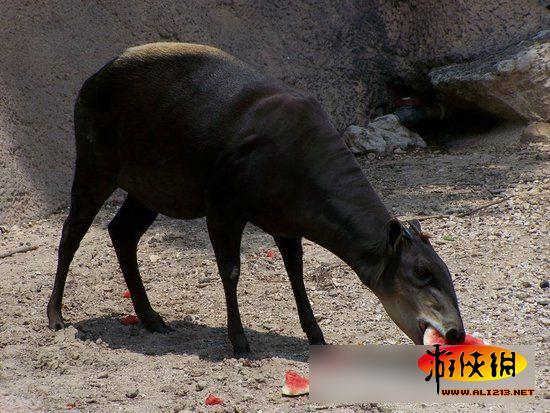动物也开吃 超萌动物夏日啃大西瓜