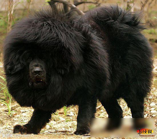 世界上十大最凶残无情犬