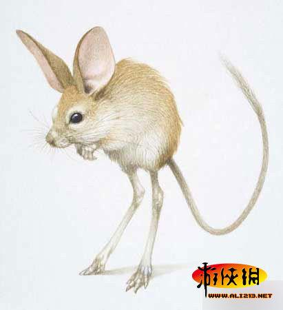 一种外形奇特的啮齿类动物非常稀少罕见