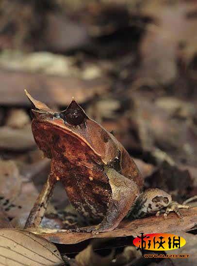 这种两栖动物精心伪装成树叶