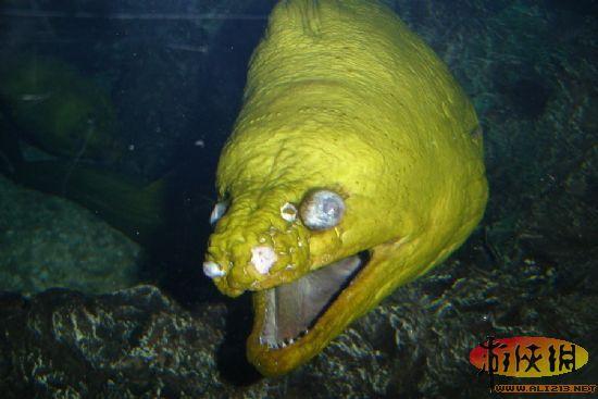 捕猎时,海鳝的一副颚负责死死咬住猎物,另一副颚负责将猎物拖入消化