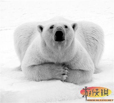 北极熊这种毛茸茸的野生动物,正处于气候v气候的a气候之中.猴子的吃住行图片
