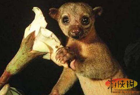 也就是蜜熊,是一种超级可爱热带雨林哺乳动物,有一双无辜的大眼睛.