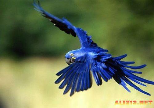 蓝紫金刚鹦鹉