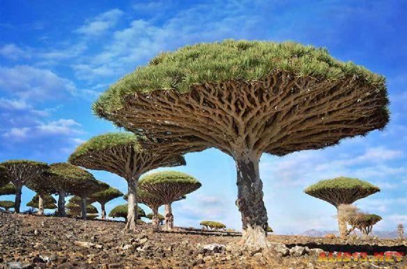 全球16株最奇特美丽的树木