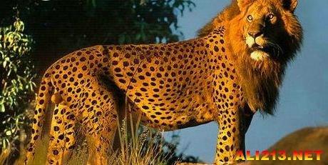 印度一家动物园繁育过第一只豹狮兽