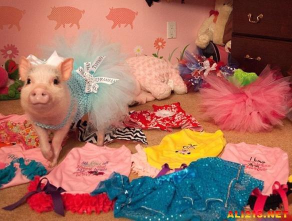 """据英国《每日邮报》8月11日报道,美国一只14个月大的宠物小猪""""潘尼洛普""""(Penelopi)过着如公主般奢华的生活,不仅拥有自己粉红色的公主风卧室,还有个大衣橱,每天坐着它专属的婴儿车跟着主人进进出出,有时还会去星巴克享用一次昂贵的下午茶。"""