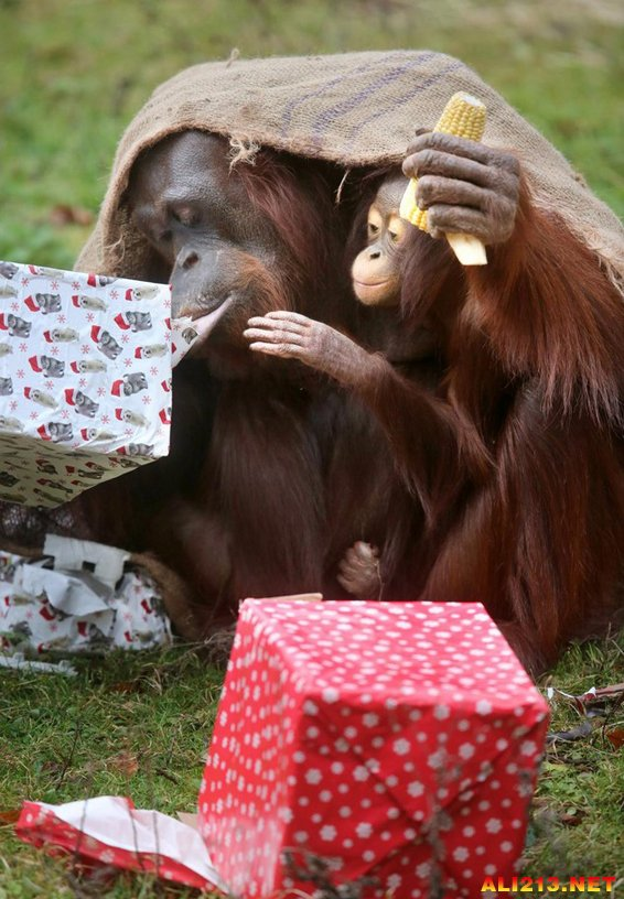英国动物园猩猩母子躲进麻袋拆圣诞礼物