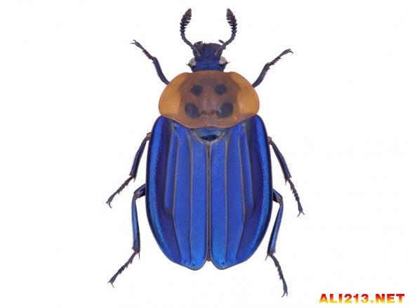 这种埋葬甲科甲虫通常与死亡动物联系在一起。它们生活在东南亚,除了胸部为橙色之外,其他身体部位(鞘翅、头和)都呈从绿到紫的彩虹色,使它们成为一种非常迷人的甲虫。据报道,Necrophila Formosa有时会出现在魔芋属植物的花朵中,后者的味道就像腐烂的鱼。