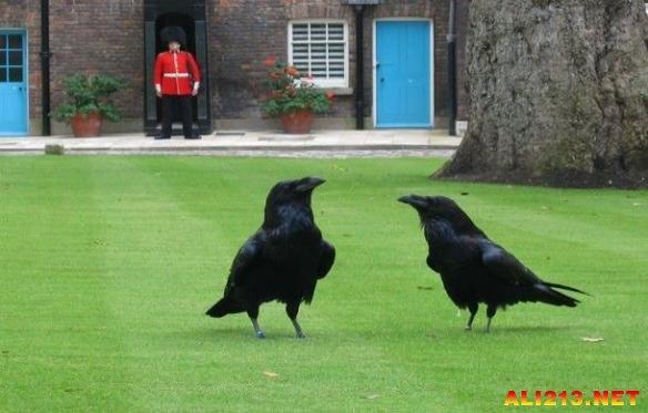 伦敦塔里的乌鸦——英格兰