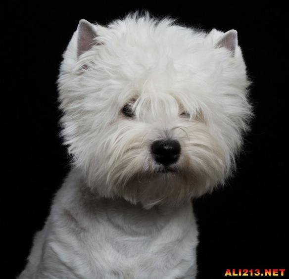 偶尔严肃的哈士奇其实很帅!动物们一本正经的证件照