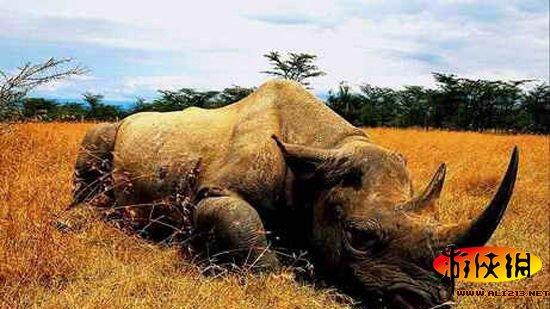 爪哇犀牛   爪哇犀牛(学名rhinoceros sondaicus),属奇蹄目犀科,与