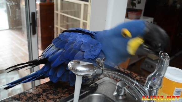 一只神奇的鹦鹉 洗澡自己开水龙头还会伸脚试